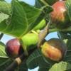 Домашен сируп од смокви против настинки и кашлица