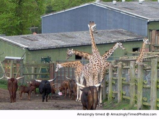 Giraffe-with-many-heads-resizecrop--