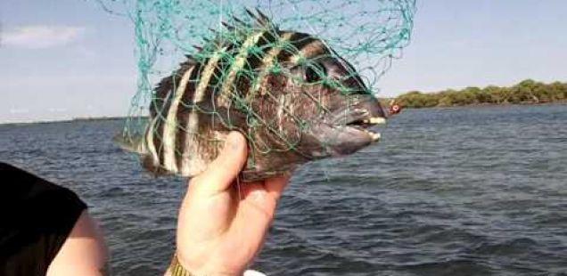 Погледнете ја рибата која има човечки заби!