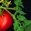 Во доматите има супстанција што го стопира ширењето на карциномот!!!