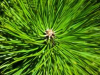 Мед од борови иглички против настинки и астма
