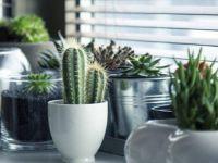 Време е да се внесат кактусите во домот