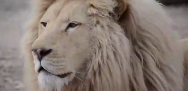 Дојдоа на свет малите лавчиња, подмладок од најреткиот вид на лавови, и ги освоија срцата на луѓето